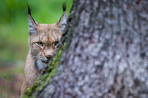 Big cats 'spotted on loose' in small area of UK